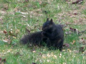 Black Squirrel - 300 x 225