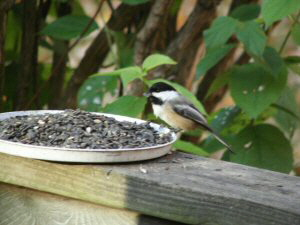 Black-capped Chickadee - 300 x 225