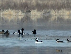 Bufflehead Ducks - 300 x 225