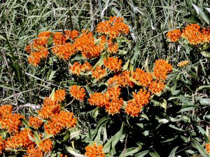 Butterfly-weed - 300 x 225