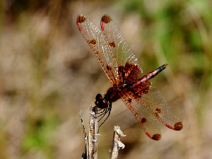Calico Pennant Dragon Fly - 300 x 225
