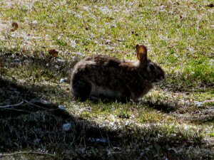 Cottontail Rabbit - 300 x 225