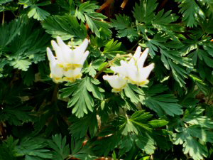 Dutchman's Breeches - 300 x 225