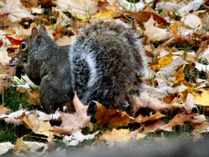 Eastern Grey Squirrel - 300 x 225
