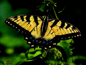 Tiger Swallowtail Butterfly on Orange Hawkweed - 300 x 225