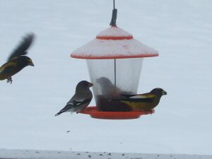 Evening Grosbeaks - 300 x 225