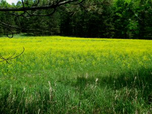 Field of Wild Mustard in  South Branch - 300 x 225