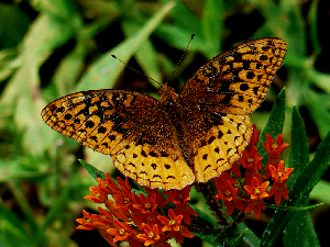 Great Spangled Fritillary Butterfly on Butterfly Weed - 300 x 225