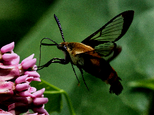 Hummingbird Clearwing Moth - 300 x 225