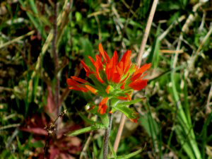 Indian Paintbrush - 2 - 300 x 225