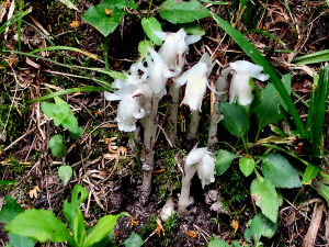 Indian Pipes - 300 x 225