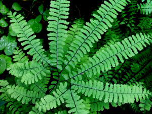 Maidenhair Fern - 300 x 225
