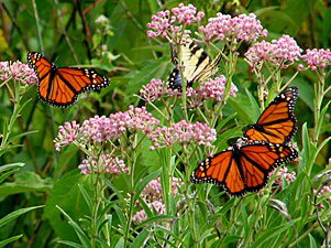 Monarch Butterflies on Common Milkweed