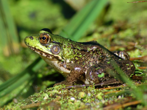 Northern Green Frog - 300 x 225