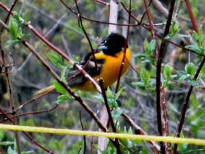 Northern Oriole - 300 x 225
