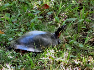 Painted Turtle - 300 x 225