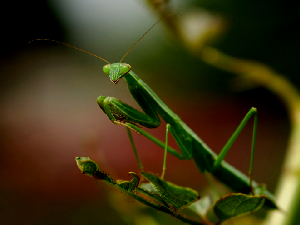 Praying Mantis - 300 x 225