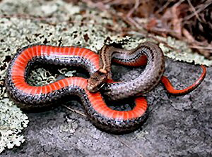 Red-bellied Snake - 300 x 225