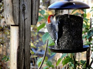 Red-bellied Woodpecker - 300 x 225