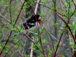Rose Breasted Grosbeak - 2 - 300 x 225