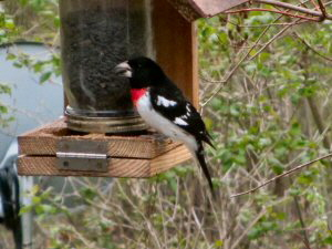 Rose Breasted Grosbeak - 300 x 225