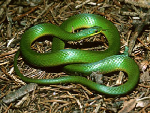 Smooth Green Snake - 300 x 225