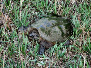 Snapping Turtle - 2 - 300 x 225