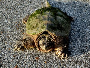 Snapping Turtle - 300 x 225