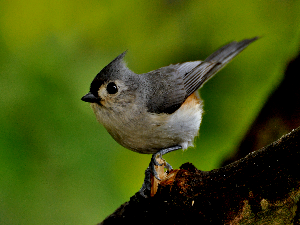 Tufted Titmouse - 300 x 225
