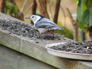 White-breasted Nuthatch - 300 x 225