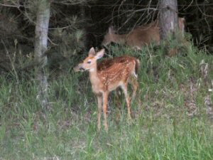 White-tail Deer - 300 x 225