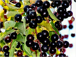 Wild Black Cherries - 300 x 225
