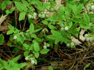Wild Blueberries Blossoms - 300 x 225