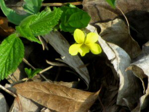 Yellow Downy Violet - 300 x 225